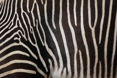 zebra: Skin of the Grevy zebra Equus grevyi, also known as the imperial zebra. Wild life animal.