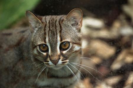 prionailurus: Rusty-spotted cat (Prionailurus rubiginosus). Wild life animal. Stock Photo