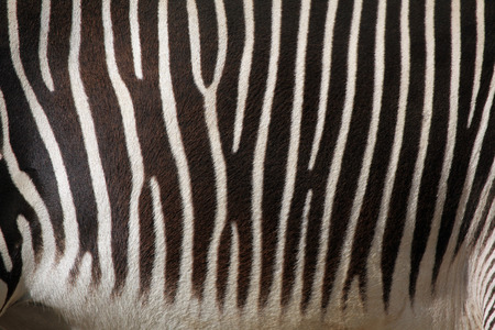 savannas: Skin of the Grevy zebra Equus grevyi, also known as the imperial zebra. Wild life animal.