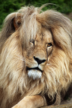 mammalia: Katanga lion (Panthera leo bleyenberghi), also known as the Southwest African lion. Wildlife animal.