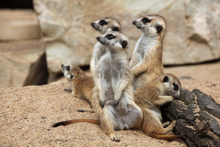 suricata suricatta: Meerkat (Suricata suricatta), also known as the suricate. Wildlife animal. Stock Photo