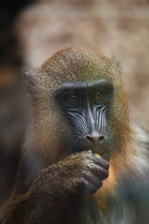 esfinge: Esfinge Mandrill Mandrillus. Animales de la fauna.