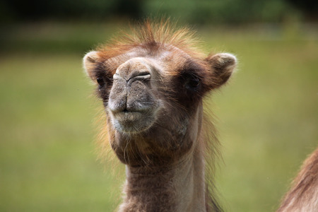 one humped: Bactrian camel (Camelus bactrianus). Wildlife animal.