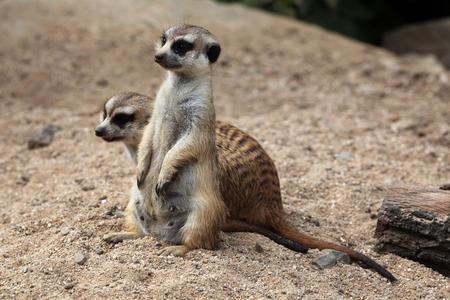 alarmed: Meerkat (Suricata suricatta), also known as the suricate. Wildlife animal. Stock Photo