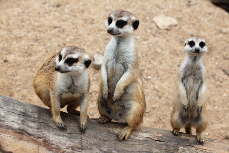 suricata suricatta: Meerkat Suricata suricatta, also known as the suricate. Wildlife animal.