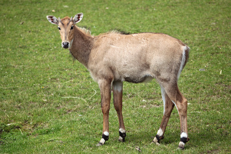 toed: Nilgai Boselaphus tragocamelus, also known as the nilgau or blue bull. Wildlife animal. Stock Photo
