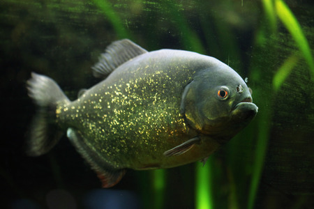 piranha: Red-bellied piranha Pygocentrus nattereri, also known as the red piranha. Wildlife animal. Stock Photo