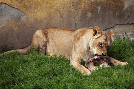 panthera leo: Katanga lion Panthera leo bleyenberghi, also known as the Southwest African lion. Wildlife animal. Stock Photo