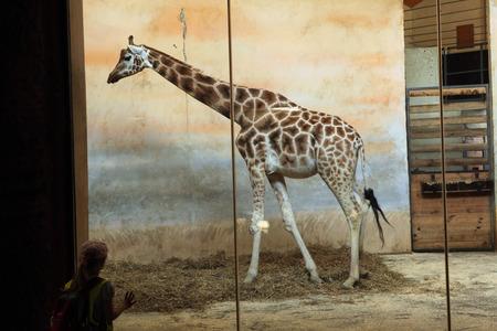 giraffa camelopardalis: PRAGUE, CZECH REPUBLIC - JUNE 2, 2015: Visitor looks at the Rothschild giraffe (Giraffa camelopardalis rothschildi) at Prague Zoo, Czech Republic.
