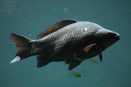 cyprinidae: Wild common carp (Cyprinus carpio). Wildlife animal. Stock Photo