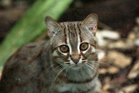 felid: Rusty-spotted cat (Prionailurus rubiginosus). Wild life animal. Stock Photo