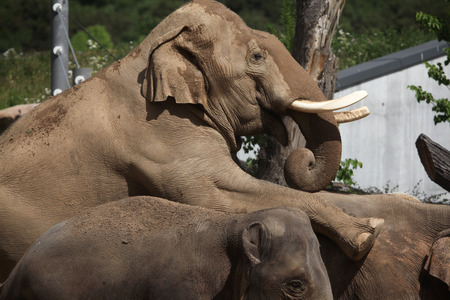 female sex: Indian elephants (Elephas maximus indicus) have sex. Wildlife animals.