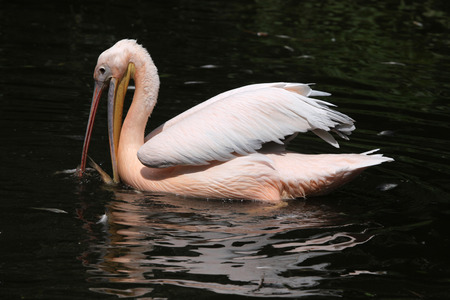 great white pelican: Great white pelican (Pelecanus onocrotalus), also known as the rosy pelican catching fish. Wildlife animal.