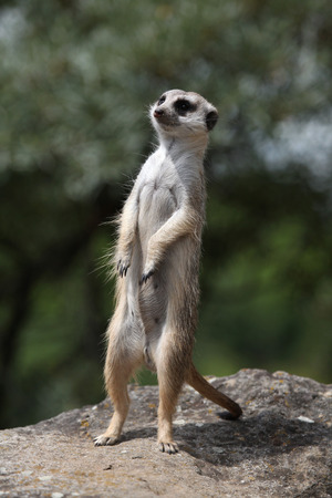 suricata: Meerkat (Suricata suricatta), also known as the suricate. Wildlife animal. Stock Photo