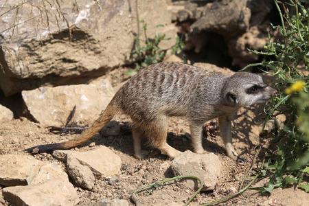 suricata suricatta: Meerkat (Suricata suricatta), also known as the suricate. Wild life animal. Stock Photo