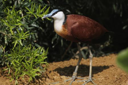 botas altas: Jacana africana (Actophilornis africanus). Vida animal salvaje.