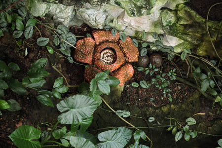 Rafflesia. The biggest flower in the world with rotting meat smell.