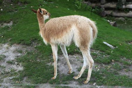 vicuna: Vicuna (Vicugna vicugna), also spelled as the vicugna. Wild life animal.