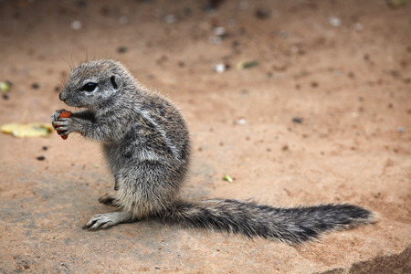xerus inauris: Cape ground squirrel (Xerus inauris). Wildlife animal. Stock Photo