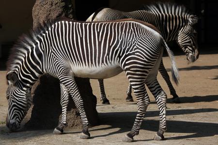 savannas: Grevy zebra (Equus grevyi), also known as the imperial zebra. Wild life animal.