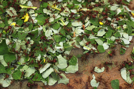 leaf cutter ant: Leafcutter ants (Atta sexdens). Wild life animal.