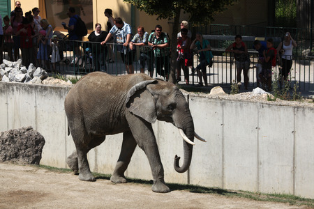 savannas: VIENNA, AUSTRIA - JUNE 7, 2015: Visitors look at the African bush elephant (Loxodonta africana) at Schonbrunn Zoo in Vienna, Austria. Editorial