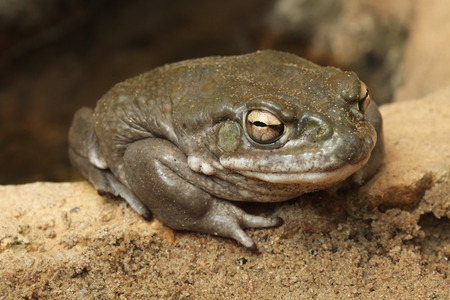 amphibia: Colorado river toad (Incilius alvarius), also known as the Sonoran desert toad. Wild life animal. Stock Photo