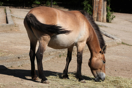 hoofed animals: Przewalski horse (Equus ferus przewalskii). Wildlife animal.