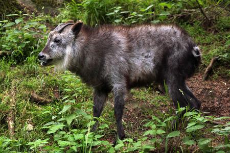 animales del bosque: Serow japonesa (Capricornis crispus). Animales de la fauna. Foto de archivo