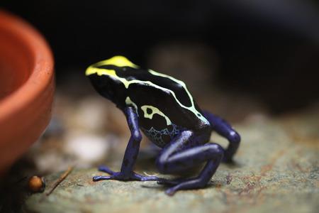 rana venenosa: Rana de teñido (Dendrobates tinctorius), también conocida como la rana venenosa de teñido. Animales de la fauna.
