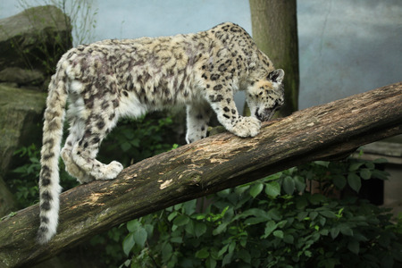 snow leopard: Snow leopard (Panthera uncia). Wildlife animal. Stock Photo