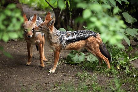savannas: Black-backed jackal (Canis mesomelas). Wildlife animal.