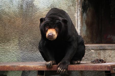wildlife: Malayan sun bear (Helarctos malayanus). Wildlife animal. Stock Photo
