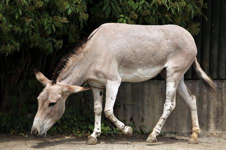 somali: Culo salvaje de Somalia (Equus africanus somaliensis). Animales de la fauna.