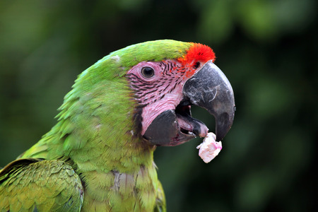 psittacidae: Great green macaw Ara ambiguus, also known as the great military macaw or Buffon macaw. Wildlife animal.