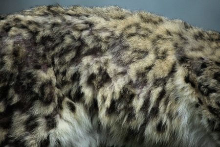 snow leopard: Snow leopard Panthera uncia fur texture. Wildlife animal.