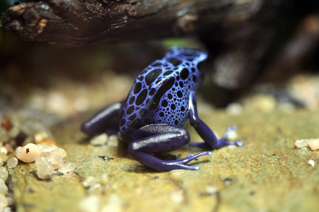 poison dart frogs: Blue poison dart frog (Dentrobates azureus), also known as the blue poison arrow frog. Wildlife animal.