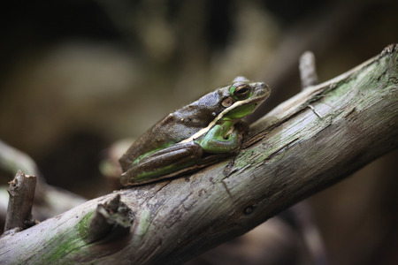 green tree frog: American green tree frog (Hyla cinerea). Wildlife animal.