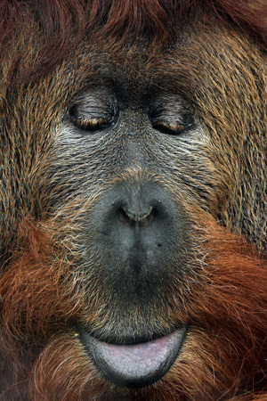 sumatran: Cross hybrid of the Sumatran orangutan (Pongo abelii) and the Bornean orangutan (Pongo pygmaeus). Wildlife animal.