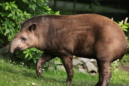 ungulates: South American tapir (Tapirus terrestris), also known as the Brazilian tapir. Wildlife animal. Stock Photo