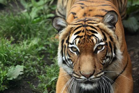 Malayan tiger (Panthera tigris jacksoni). Wildlife animal. Stock fotó