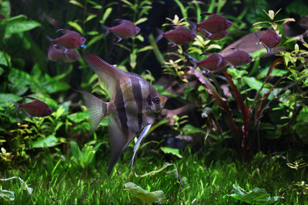 pterophyllum: Deep Angelfish (Pterophyllum altum), also known the Orinoco angelfish. Wildlife animal.
