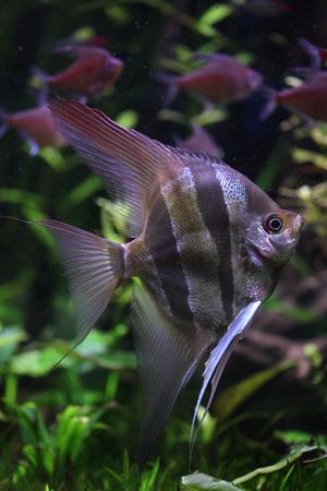 pterophyllum: Deep Angelfish (Pterophyllum altum), also known the Orinoco angelfish. Wildlife animal.