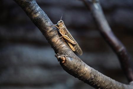 langosta: Langosta del desierto (Schistocerca gregaria). Animales de la fauna.