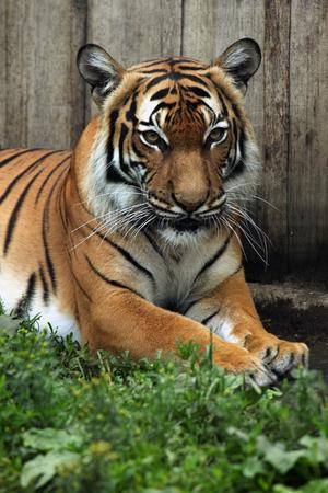 felid: Malayan tiger (Panthera tigris jacksoni). Wildlife animal.