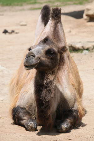 one humped: Domestic Bactrian camel (Camelus bactrianus). Wildlife animal.