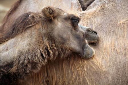 one humped: Domestic Bactrian camel Camelus bactrianus. Wildlife animal. Stock Photo