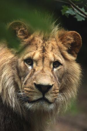 animales del zoo: León de Berbería (Panthera leo leo), también conocido como el león del Atlas. Animales de la fauna.