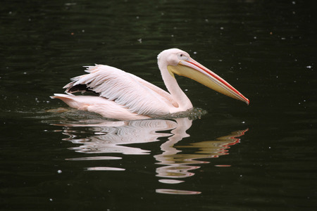 rosy: Great white pelican (Pelecanus onocrotalus), also known as the rosy pelican. Wildlife animal. Stock Photo