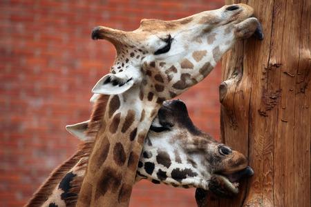 giraffe: Rothschild jirafa (Giraffa camelopardalis rothschildi). Animales de la fauna. Foto de archivo